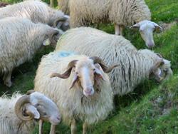 Brebis basco-béarnaises