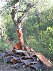 Les subéraies (forêts de chêne-liège) affectionnent la côte méditerranéenne