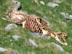 carcasse de brebis après les vautours ont mangé