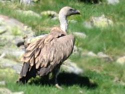 vautour fauce près de Gourette